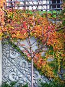 Ivy-Covered Wall In Fall