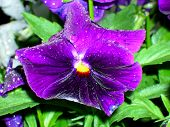 Brillant Purple Pansy