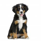 pic of cute dog  - puppy Bernese mountain dog sitting in front of white background - JPG