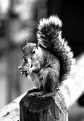 pic of knoxville tennessee  - gray squirrel standing up snacking - JPG