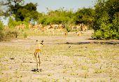 Постер, плакат: Impala Herd Africa