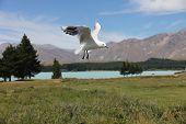 stock photo of mckenzie  - Seagull over lake Tekapo  - JPG