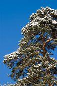 Pine Under Snow