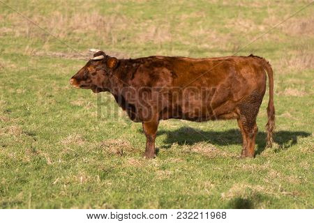 Red Dexter Bull Standing In