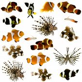 image of clown fish  - Collection of 17 tropical fish in different sizes and different positions in front of a white background - JPG