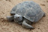southern gopher turtle