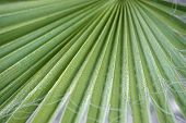 foto of washingtonia  - Detail of the texture of a leaf of palm - JPG