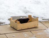 Turdus Merula Cabrerae Bird Eurasian Blackbird Eating Food, Poured Into A Wooden Box. Bird Siting In poster