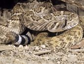 pic of western diamondback rattlesnake  - Western diamondback rattlesnake tongue testing the airrattle rattling poised to strike.