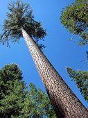 Sugar pine in Yosemite National Park