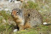 Columbian Ground Squirrel - Jasper National Park