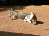 picture of jack-ass  - Two donkeys lying in a dirt lot - JPG