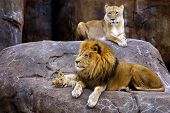 Animal Lion Family