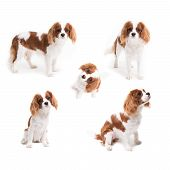 Pedigree Dogs Collage. Cavalier King Charles Spaniel In Studio On White Background - Isolate With Sh poster