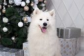 Merry Christmas And Happy Holidays. New Year 2020. Samoyed Dog Lies In Living Room In Christmas Inte poster