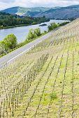 vineyar near Mulheim, Moselle Valley, Rhineland-Palatinate, Germany