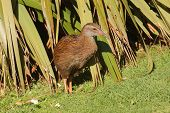 closeup of a Weka, a flightless bird indigenous to New Zealand