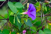 A Purple Flower (morning-glory) On The Background Of Green Leaves. A Purple Ipomoea On The Fence Of  poster