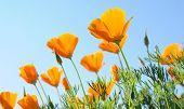 orange poppies against blue sky