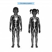 Vector Isolated Illustration Of Human Arterial And Venous Circulatory System Anatomy In Boy And Girl poster