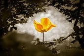 Yellow Tulip Soul In Black White For Peace Heal Hope. The Flower Is Symbol For Power Of Life And Min poster