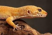 Gecko sitting on a brunch