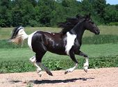 stock photo of black horse  - Morgan Paint Prancer running with feet off the ground - JPG