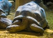 Portrait Of A Giant Aldabra Tortoise, Worlds Largest Land Dwelling Turtle Specie From Madagascar, Vu poster