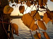 Gold Autumn Leaves