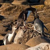 NZ Yellow-eyed Penguins or Hoiho feeding the young
