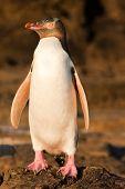Erwachsene Nz yellow eyed Pinguin oder Hoiho am Ufer