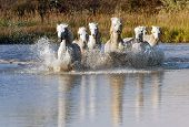 stock photo of wetland  - Heard of White Horses Running through water - JPG
