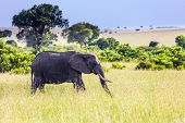 Huge lonely elephant grazes in the tall grass of the savannah. Elephants are the largest land mammal poster