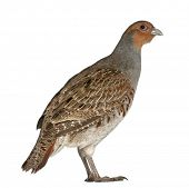 picture of hungarian partridge  - Portrait of Grey Partridge - JPG