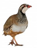 Red-legged Partridge or French Partridge, Alectoris rufa, a game bird in the pheasant family in front of white background