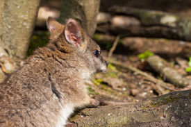 pic of tammar wallaby  - A parma wallaby sitting on a log - JPG