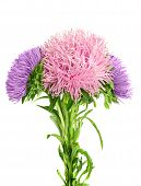 Aster  boquet  isolated