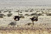 Ostriches Running