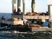 Australian Fur Seals On Chinamans Hat, Port Phillip Bay, Victoria, Australia