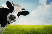stock photo of in front  - Funny cow on a green summer meadow - JPG