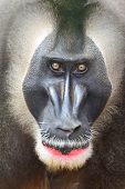 stock photo of endangered species  - Drill monkey male primate looking intimidating - JPG