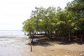 Mangrove Tree At Don Hoi Lot