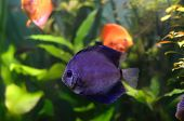 image of diskus  - The Blue discus fish in the aquarium - JPG