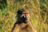 Baboon (papio Ursinus)