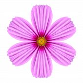 Pink Cosmea Rose Flower Kaleidoscope Isolated On White