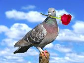 stock photo of red rose flower  - A pigeon with a red rose love concept - JPG