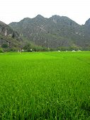 Paddy Field With Mountainous Backdrop