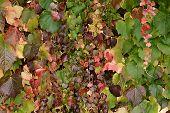 Pretty Delicate Autumn Colours In Ivy