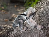 Anteater baby