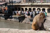 Monkey sitting at Pashupatinath Temple